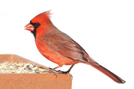 Mannelijke Northern Cardinal (cardinalis cardinalis) op een feeder in de winter