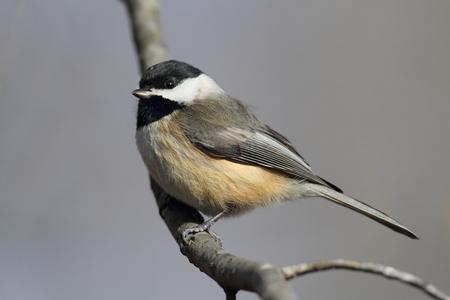 chickadee: Carolina Chickadee (Poecile carolinensis) on a perch in winter