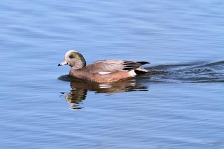 americana: American Wigeon (Anas americana) swimming in the ocean