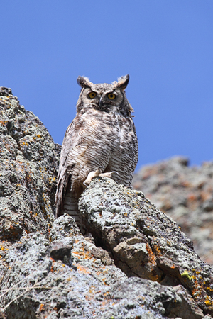 virginianus: Great Horned Owl (Bubo virginianus) perched on rocks in the desert