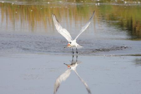 caspian: Caspian Tern (Sterna caspia) in flight over a pond