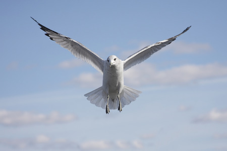 larus: Ring-billed Gull (larus delawarensis) in flight over the beach with a blue sky background