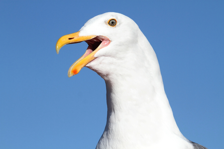 roosting: Western Gull (Larus occidentalis) roosting by the Pacific Ocean