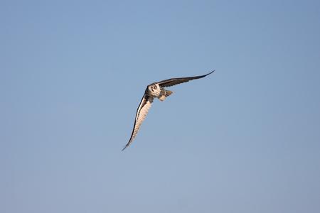 falco: Prairie Falcon (Falco mexicanus) in flight against a blue sky Stock Photo