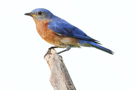 eastern bluebird: Eastern Bluebird (Sialia sialis) on a perch - Isolated on a white background