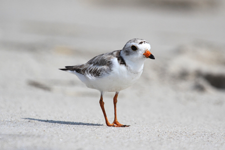 plover: Endangered Piping Plover (Charadrius melodus) on a beach Stock Photo