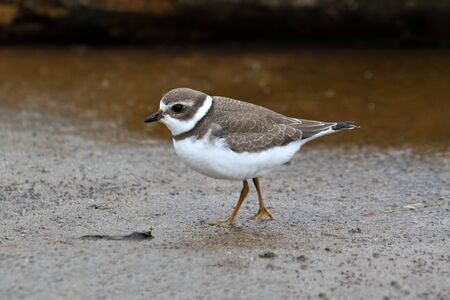 plover: Semipalmated Plover (Charadrius semipalmatus) by the Pacific Ocean