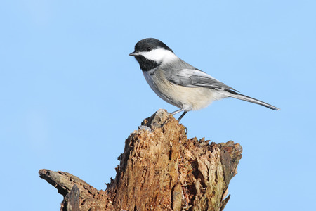 chickadee: Black-capped Chickadee (poecile atricapilla) on a perch with a blue background