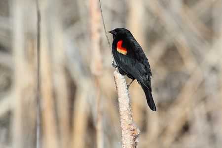 male animal: Male Red-winged Blackbird (Agelaius phoeniceus) perched on a branch Stock Photo
