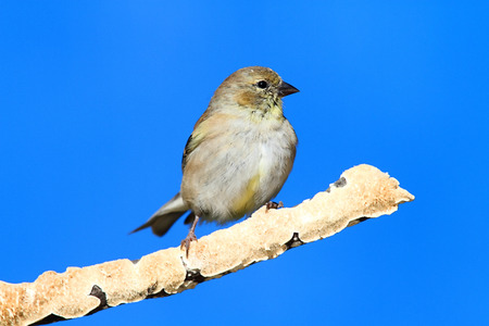 goldfinch: American Goldfinch (Carduelis tristis) perched with a blue background