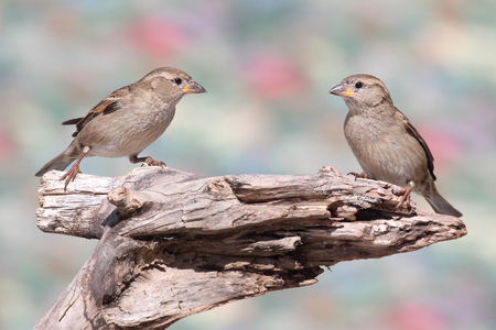 domesticus: House Sparrow (Passer domesticus)  on a stump with a colorful background