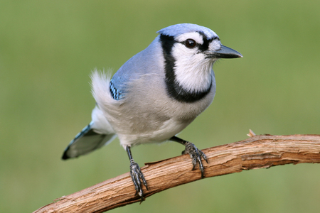 blue jay bird: Blue Jay (corvid cyanocitta) with a green background