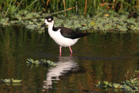 himantopus: Black-necked Stilt (Himantopus mexicanus) in green water