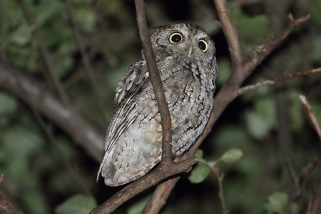 megascops: Eastern Screech-Owl (Megascops asio) in a tree at night