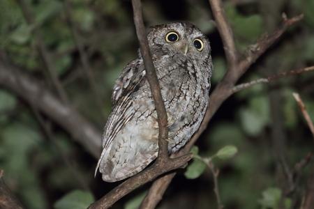 megascops: Eastern Screech-Owl (Megascops asio) in a tree at night