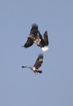 leucocephalus: Three Bald Eagles (haliaeetus leucocephalus) fighting over a fish in flight against a blue sky