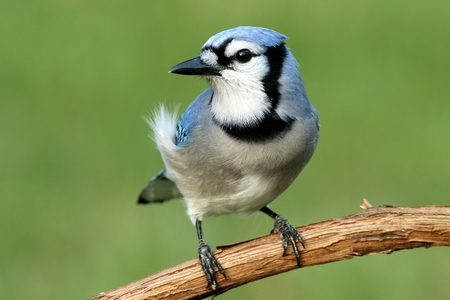 jay: Blue Jay (corvid cyanocitta) with a green background