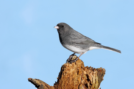 animal limb: Dark-eyed Junco (hyemalis) on a stump with a blue sky background in winter