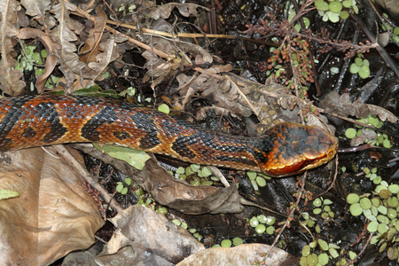 slither: Cottonmouth Snake (Agkistrodon piscivorus) a.k.a. Water Moccasin Stock Photo