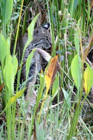 lince rojo: Lince salvaje (Lynx rufus) relajante en la Florida Foto de archivo