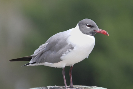 gulf of mexico: Laughing Gull (Larus atricilla) on a perch by the Gulf of Mexico Stock Photo
