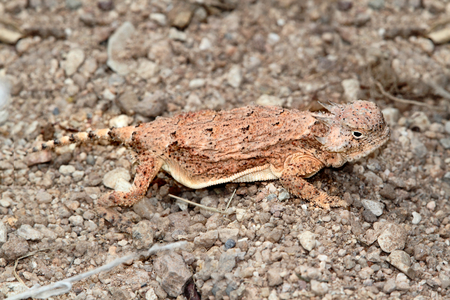 slither: Round-tailed Horned Lizard (Phrynosoma modestum) in New Mexico