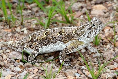 horned: Texas Horned Lizard (Phrynosoma cornutum) in New Mexico