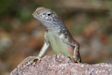 slither: Southwestern Earless Lizard (Cophosaurus texanus scitulus) in New Mexico Stock Photo