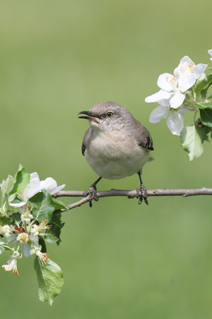 ruiseñor: Northern Mockingbird (Mimus polyglottos) in an apple tree with flowers in spring