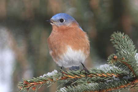 eastern bluebird: Male Eastern Bluebird (Sialia sialis) on a snow covered perch Stock Photo