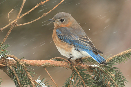 eastern bluebird: Female Eastern Bluebird (Sialia sialis) on a snow covered perch Stock Photo