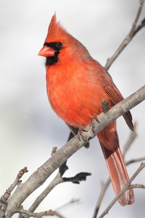 snow cardinal: Male Northern Cardinal (cardinalis cardinalis) on a branch in a snow storm Stock Photo