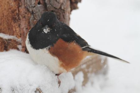 erythrophthalmus: Male Eastern Towhee (Pipilo erythrophthalmus) in snow in winter