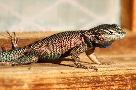 yarrow: Mountain Spiny (Yarrows) Lizard (Sceloporus jarrovii) in New Mexico