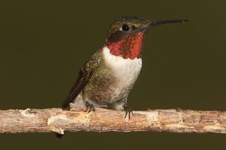 male animal: Male Ruby-throated Hummingbird (archilochus colubris) on a perch with a green background