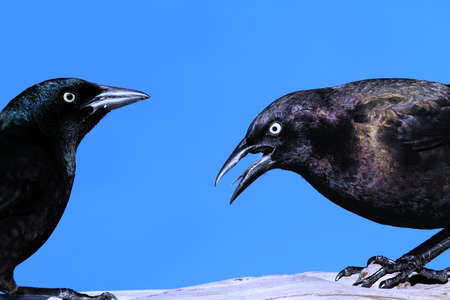 birding: Common Grackle (quiscalus quiscula) on a perch Stock Photo
