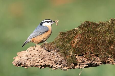 canadensis: Red-breasted Nuthatch (sitta canadensis) on a stump with moss