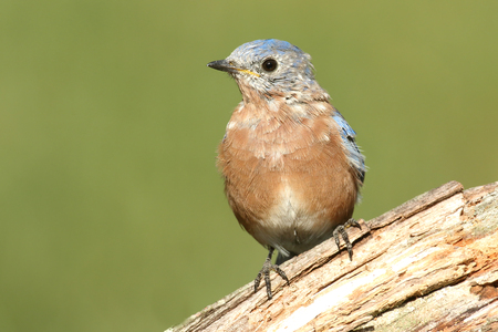 molting: Baby Eastern Bluebird (Sialia sialis) molting with a green background