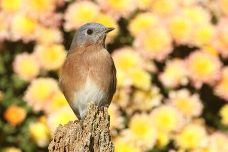eastern bluebird: Eastern Bluebird (Sialia sialis) on a perch with flowers in the background Stock Photo