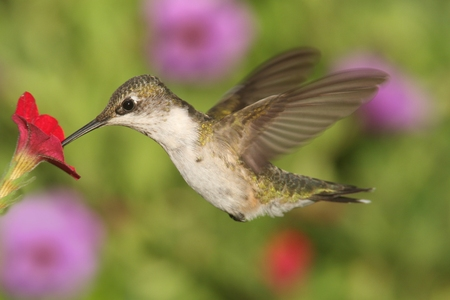 juveniles: Juvenile Ruby-throated Hummingbird (archilochus colubris) in flight at a flower with a colorful background