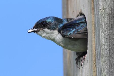 Tree Swallow (tachycineta bicolor) looking out of a bird house Banco de Imagens