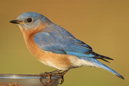 eastern bluebird: Male Eastern Bluebird (Sialia sialis) perched on a feeder
