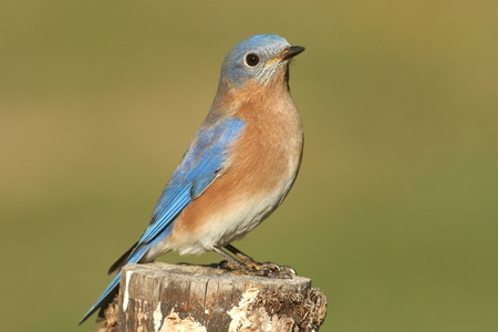 bluebird: Male Eastern Bluebird (Sialia sialis) on a perch with a green background Stock Photo