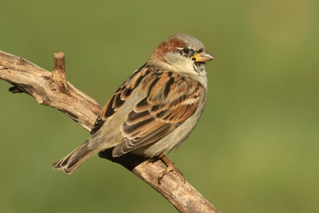 passer by: House Sparrow (Passer domesticus) perched on a branch with a green background