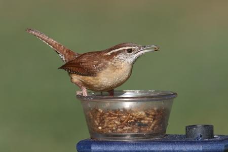 Carolina Wren (Thryothorus ludovicianus) on a feeder Imagens
