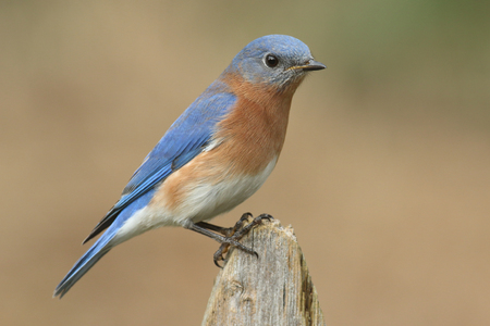 eastern bluebird: Male Eastern Bluebird (Sialia sialis) on a fence with a brown background