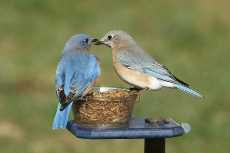 male animal: Pair of Eastern Bluebird (Sialia sialis) on a feeder