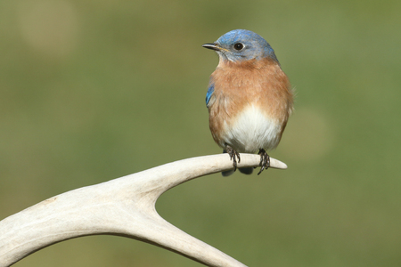 antler: Male Eastern Bluebird (Sialia sialis) on a deer antler with a green background