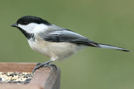 capped: Black-capped Chickadee (poecile atricapilla) on a feeder