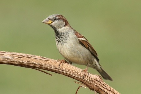 domesticus: House Sparrow (Passer domesticus) perched on a branch with a green background